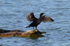 Cormorant at Windsor Lake, Weld County, Colorado. Arapahoe Indians, State Birds, Bird Species, Windsor, Bald Eagle, Colorado, Aspen Colorado