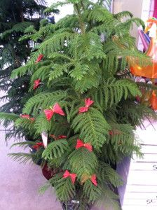 Norfolk Island pine with bows