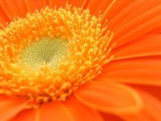 another gerbera daisy