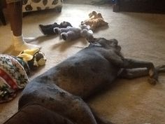 Sometimes you nap with friends. Christopher's stuffed animals took their naps with Marley today.