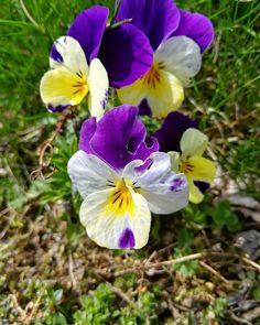 Und ein Hornveilchen kommt selten allein  Wir brauchen Farben  #Garten #Gartenliebe #bloom #blooms #Gartenglück #Gartenzeit #Gartenträume #Gärten #Blume #Blumen #Blumenliebe #Blumenfotografie #blumenzauber #nature  #naturelover  #naturephotography  #flowers #flower #naturesbeauty  #naturelove  #PictureoftheDay  #photooftheday