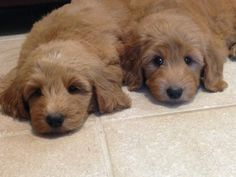 Sleepy Goldendoodles 7 weeks old