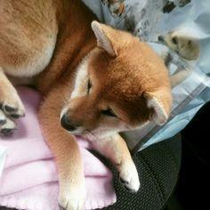 Hana Nori Go Hi No Arashi. #shiba #shibainu #shibadog #dog #puppy #shibanori #hananori
