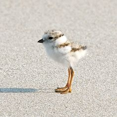 I loooooove sand pipers :) Wish i was at the beach!