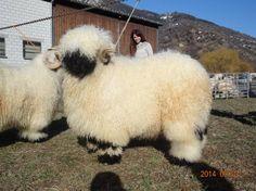 Cute Sheep, Sheep Farm, Sheep And Lamb, Nature Animals, Farm Animals, Animals And Pets, Cute Animals, Fluffy Cows, Fluffy Animals