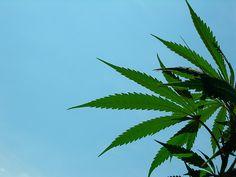 potheadvibes:  spinstate:  Cannabis Plant @bottleponics  Swiss...
