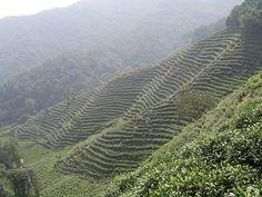 Long Jing tea plantation southwest of Hangzhou, China