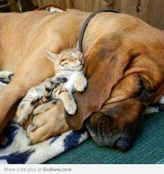 Bloodhound and kitten