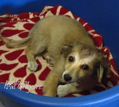 A4801366 I am an adorable 3 mo. old male tan/white Shepherd mix. I came to the shelter as a stray on Feb 18. available 2/22/15 Baldwin Park shelter https://www.facebook.com/photo.php?fbid=927643893914115&set=pb.100000055391837.-2207520000.1424553776.&type=3&theater