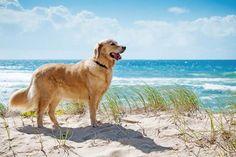 Golden Retriever at the beach...found on fundogpics.com