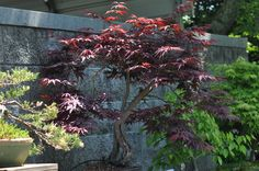 Dwarf Japanese Red Maple by ~NyanaeveStock on deviantART  nyanaevestock.deviantart.com