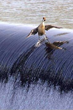 Funny Wildlife — This avian surfer takes to the waves like a duck. Animals And Pets, Funny Animals, Cute Animals, Wild Animals, Farm Animals, Beautiful Birds, Animals Beautiful, Funny Birds, Tier Fotos