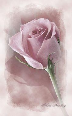 Beautiful Flower Quotes, Beautiful Rose Flowers, Amazing Flowers, Watercolor Flowers, Watercolor Paintings, Image Pastel, Pastel Roses, Rose Art, Flower Wallpaper