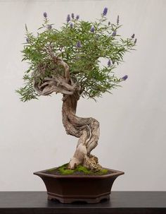 Bonsai… (not) Lavender. Chaste Tree.                              …