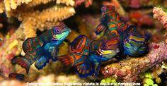Le foto subacquee di Andrea Pescarolo: Mandarin