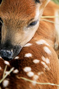 Baby Fawn by intensepizza on DeviantArt