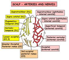 Instant Anatomy - Head and Neck - Vessels - Arteries - Scalp