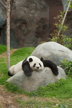 16 Amazingly Cute Pictures Of A Baby Panda - Pandas - Tierbilder Bear Pictures, Animal Pictures, Cute Pictures, Baby Panda Pictures, Panda Funny, Cute Funny Animals, Cute Baby Animals, Lazy Animals, Wild Animals