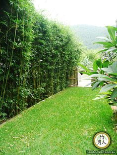 Mike thinks this would make a great sound barrier on the road side… bamboo hedge. Mike thinks this would make a great sound barrier on the road side of our backyard. Bamboo Landscape, Bamboo, Landscape Design, Backyard Garden, Backyard Privacy, Hedges, Bamboo Plants, Landscape, Backyard