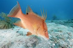 A hogfish (Lachnolaimus maximus) feeds on the bottom at Davis Rock in the Dry Tortugas National Park. This image is part of documentation collected during the Greenpeace expedition to the Gulf of Mexico. Dry Tortugas, Sport Fishing, Gulf Of Mexico, National Parks, Wildlife, Rock, Image, Beautiful, Oceans
