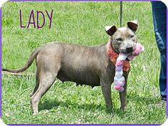 LADY...Lawrenceburg, TN - Pit Bull Terrier. Meet Lady, a dog for adoption. http://www.adoptapet.com/pet/11152474-lawrenceburg-tennessee-pit-bull-terrier