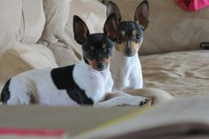 Foxlace Farms - Breeder of Toy Fox Terriers