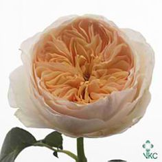 Rose Juliet - a classic peach garden rose with neatly arranged petals and a beautiful fragrance - typically David Austin ! (approx. 90 petals)