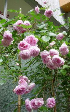 Camelia Rose / Rosa Camelia ®