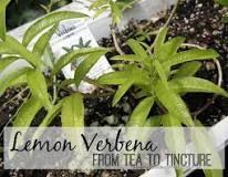 dried lemon verbena uses - Google Search