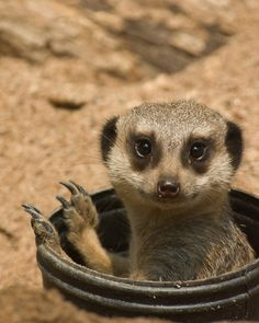 meerkat | Cute Meerkats Latest Photos-Images