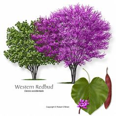 Google Image Result for http://selectree.calpoly.edu/Photos/Cercis_occidentalis/images/REDBUD_WESTERN-ro.jpg