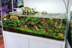 Planted aquarium in Ecoarium store.  #FAAO #Aquaflora #Aquascaping #Planted #Aquarium #Aquatic #Plant #Freshwater #aquascape #plantedtank #plantedaquarium #Ecoarium