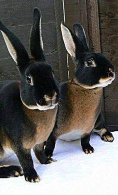 foto van Soul Alchemy - Black Otter Rex Rabbits