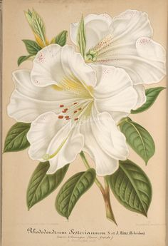 - L'Illustration horticole : - Biodiversity Heritage Library From Pinner friend JT Illustration Botanique, Illustration Blume, Digital Illustration, Botanical Flowers, Botanical Art, Lilies Drawing, Impressions Botaniques, Victorian Paintings, Art Clipart