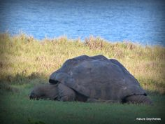 Aldabra giant tortoise #CousinIsland #Seychelles