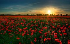 Poppy Fields in Norfolk, England | Community Post: 16 Absolutely Stunning Places To See In Your Lifetime