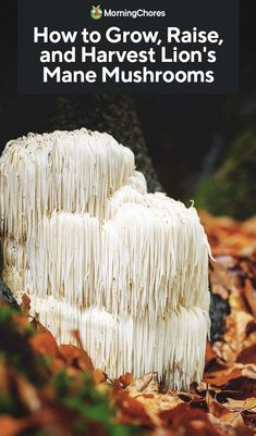 How to Grow Lion's Mane Mushrooms on Logs and Sawdust - - With its lobster-like flavor and icicle-like appearance, growing lion's mane mushrooms only looks difficult. Our guide makes it easy. Growing Mushrooms At Home, Garden Mushrooms, Edible Mushrooms, Wild Mushrooms, Stuffed Mushrooms, How To Grow Mushrooms, Mushroom Benefits, Mushroom Cultivation, Mushroom Hunting