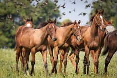 Awesome Again's colt with other foals not being distracted by all the birds flying around them.
