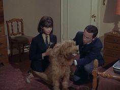 Get Smart: Season 1, Episode 3 School Days (2 Oct. 1965)   Red , Fang - Agent K-13 (uncredited) ,  Mel Brooks, Buck Henry,  Barbara Feldon, Agent 99, Don Adams,