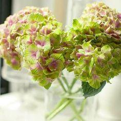Hortensia Magical Four Seasons, petit bouquet d'amethyst..