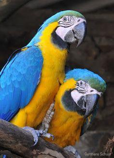 Aves brasileiras / Arara-canindé (Ara ararauna) ©Germano Schüür Mais