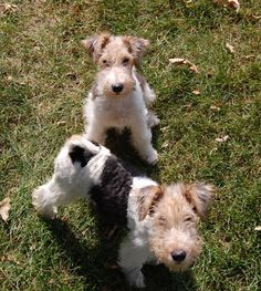 Fox Terrier Puppy Dogs- both look absolutely full of it .