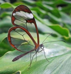 Glasswing butterflies are found from Mexico through Panama and have wingspans of 2.2 to 2.4 inches (5.6 to 6.1 cm) in width. It is thought that their mostly transparent wings make these butterflies less visible when in flight.