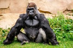 Photo about Big strong gorilla male primate sitting in the grass. Image of monkeys, primate, animals - 44380921 Big Gorilla, Funny Animal Photos, Funny Animal Videos, Animal Pictures, Animals And Pets, Funny Animals, Cute Animals, Silverback Gorilla, Nature