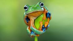 Keeping frogs as pets is a rewarding experience, for both young and old. In fact, caring for most frogs is as simple as maintaining the correct temperature and humidity, feeding […] Dwarf Frogs, Baby Animals, Cute Animals, Unusual Animals, Ceramic Animals, Cute Animal Videos, Cute Anime Character, Pet Store, Beautiful Creatures