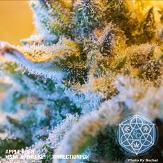 Trichome Tuesday: Hot Nugs & Sexy Bacon  http://www.dopemagazine.com/trichome-tuesday-hot-nugs-sexy-bacon/