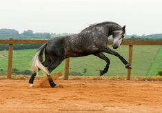 Extremely beautiful grey gelding, Meursault is very typical and docile.  Sired by the beautiful bay stallion Quínio Interagro, revised with 74.50 points and Gold medalist at the 1999 International Lusitano Show in São Paulo, Brazil. Meursault´s dam Freda Interagro is a mare of 100% Veiga bloodline, daughter of Ofensor (MV) and Mina (MAC) was bred by the Coimbra Stud Farm in Portugal. The One, Stud Farm, Brazil, Horses, Beautiful, Instagram, Portugal, Mac, Daughter