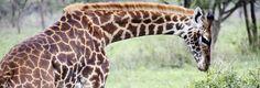 Girafe dans le parc national du Serengeti, Tanzanie © Y. Gosselin/Travel Lab