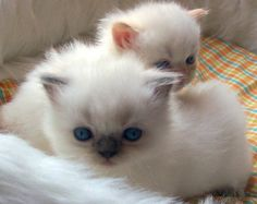 Kittens - Yahoo Image Search Results