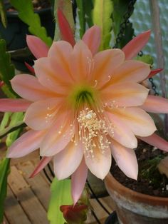 """Epiphyllum """"King Midas"""""""